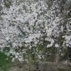 Strauch mit Blüten 1