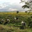 Galloways in den Peenewiesen 1