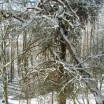 geborstene-kiefer-bei-krienke-im-winter-1