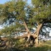 Suckower Eiche im Frühjahr Usedom 1