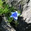 Der Blaue Enzian 1