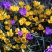 Frühlingsblüher 1
