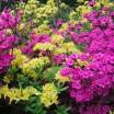 Rhododendron in Graal Müritz 1