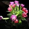 Tulpen vor dunklem Hintergrund 1