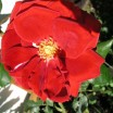 Entblätterte Rose 1