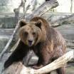 Braunbär im Wolgaster Zoo 1