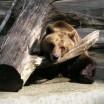 Braunbär im Wolgaster Zoo 2