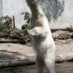 Eisbär im Zoo 1