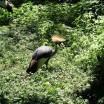 Kronenkranich im Zoo 1