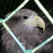 Seeadler in Gefangenschaft 1
