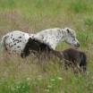 Stute und Fohlen im hohen Gras 1